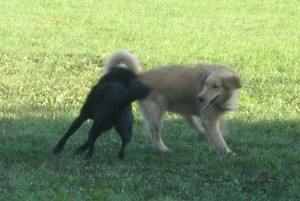 Golden Retriever playing at dog park