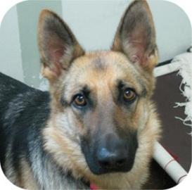 Charlotte the German Shepherd Mix at Tompkins County SPCA