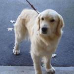 Wednesday Adoptable in Central New York – Sara the Golden Retriever