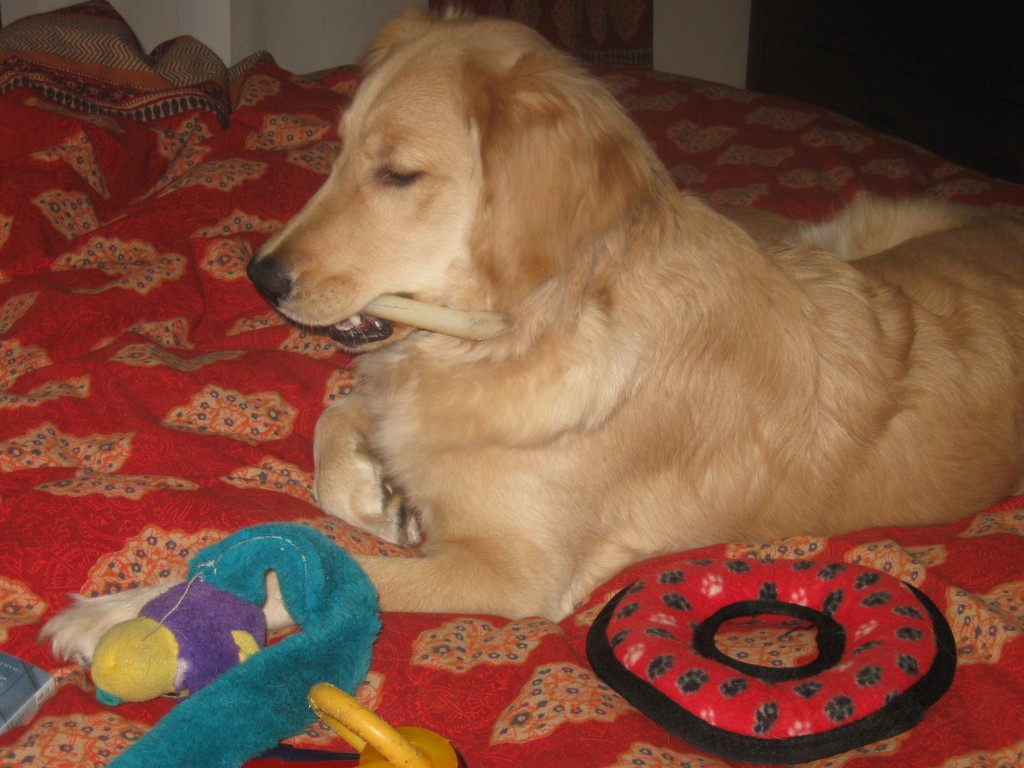 Golden Retriever on the bed with toys