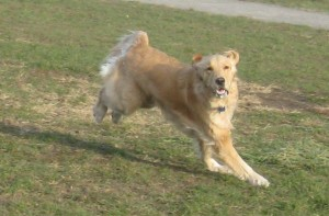 Golden Retriever running at the dog park