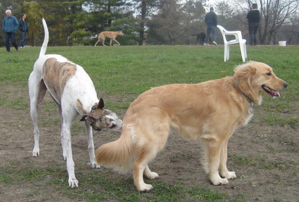 Greyhound sniffing Golden Retriever at Dog Park