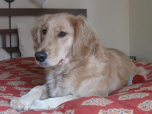 Golden Retriever on the bed