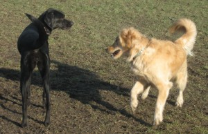 Golden Retriever and mixed black dog at the park