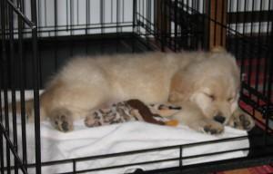 Golden Retriever puppy sleeping in crate