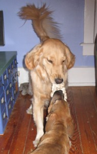 Golden Retriever and mixed breed puppy playing