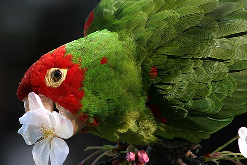 Wild Parrot - Cherry Headed Conure by Gwen Harlow on Flickr