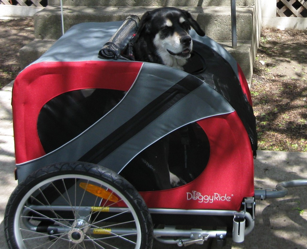 Mixed breed dog in bike trailer