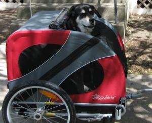 Mixed breed dog in bike trailer