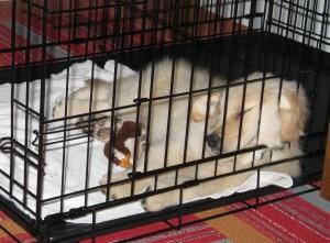Golden Retriever puppy in crate.