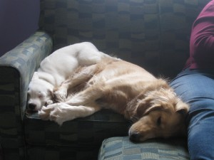 Honey the Golden Retriever sleeping with Buster the cute white puppy.