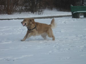 Honey the Golden Retriever fetching in the snow