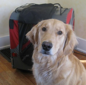 Golden Retriever sitting in front of Doggy Ride Bicycle Cart