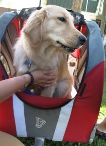 Golden Retriever in Doggy Ride bike trailer