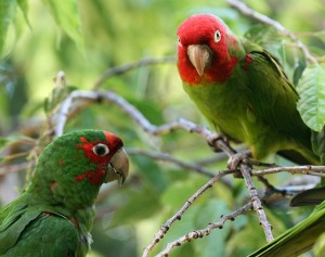 The Parrots of Telegraph Hill by Phillip Bouchard on Flickr