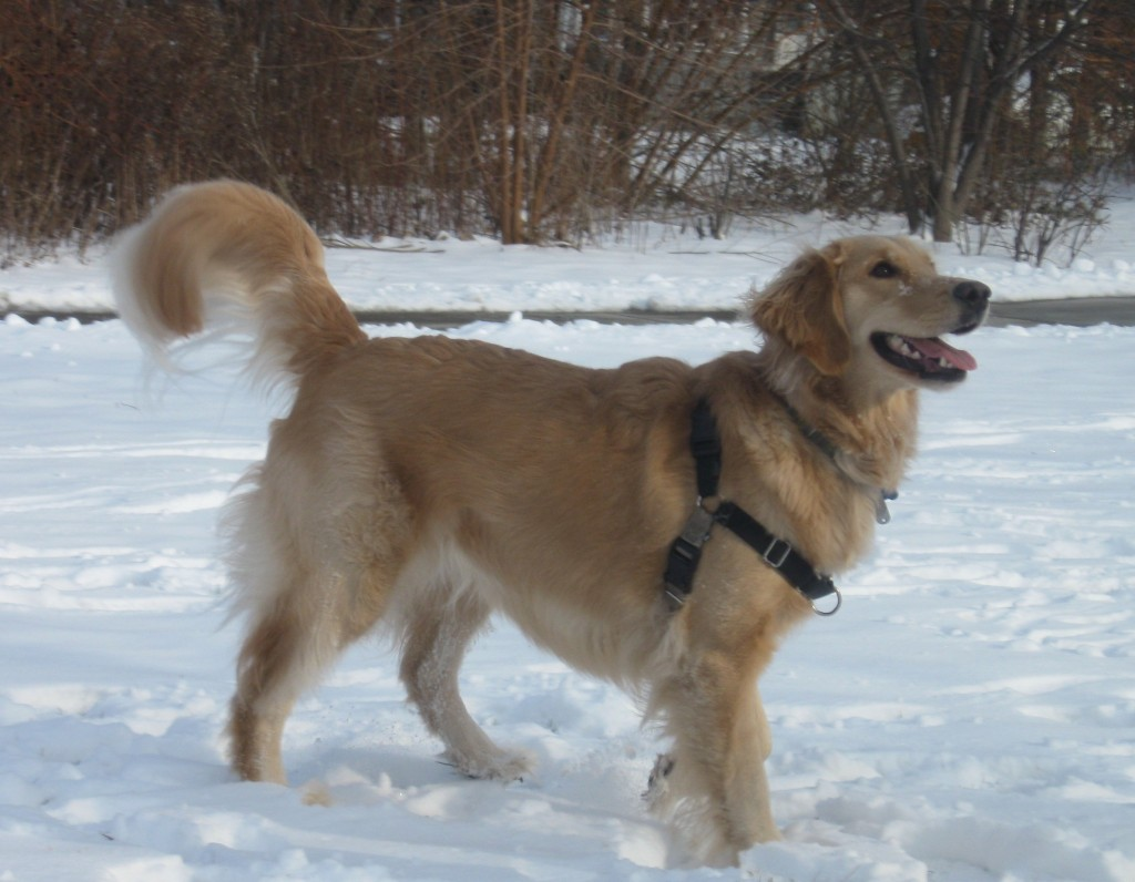 Smiling Golden Retriever in the snow.