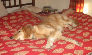 Golden Retriever on the bed.