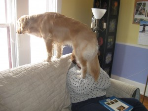 Golden Retriever standing on couch to look out the window.