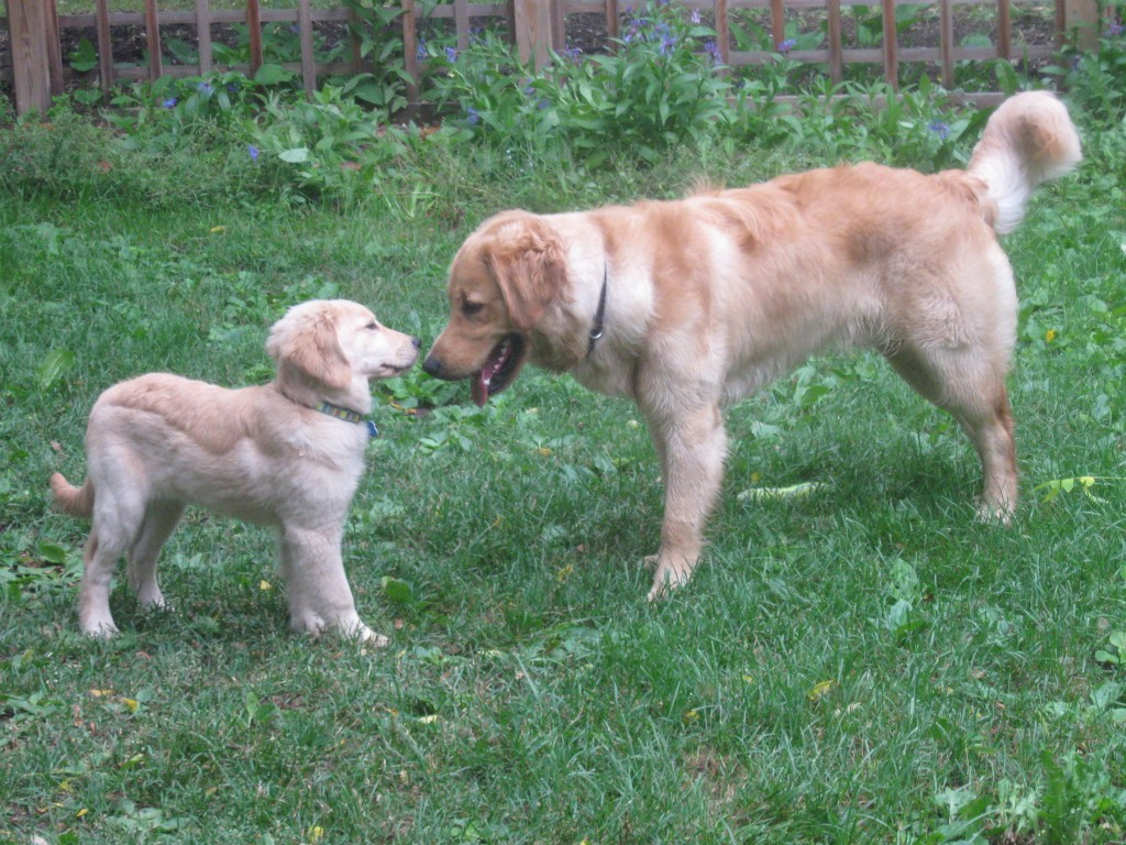 Golden Retriever puppy meets adult Golden Retriever