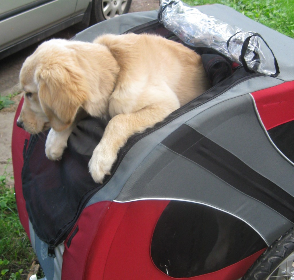 Golden Retriever trying to exit Doggy Ride Bicycle cart