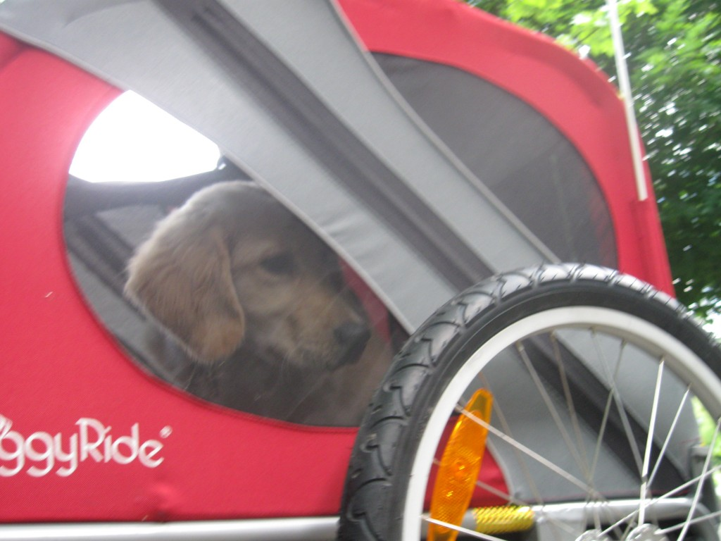 Golden Retriever Puppy in Doggy Ride Bicycle Cart