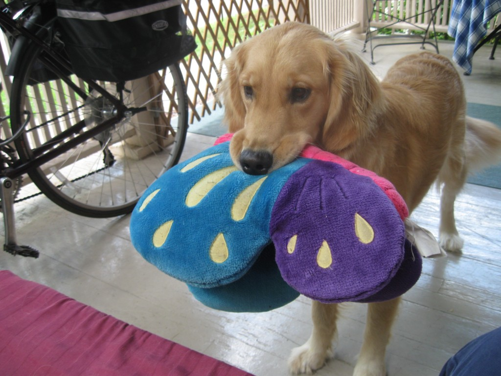 Golden Retriever Honey with a stuffed butterfly