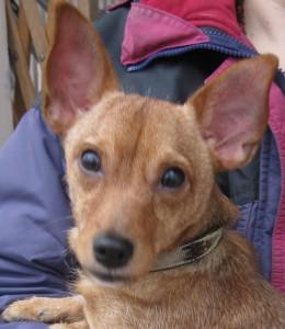 head shot of chihuahua mix dog