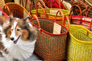Chula the Shetland Sheepdog poses with colorful baskets