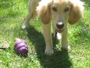 Golden Retriever with food toy