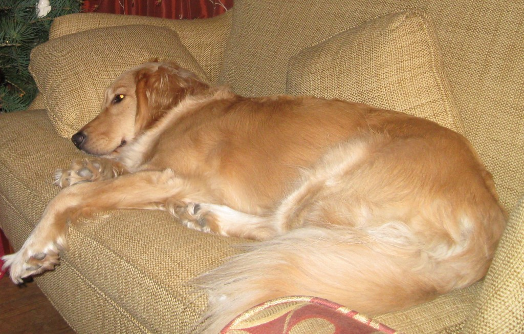 Honey the Golden Retriever lying on the couch.