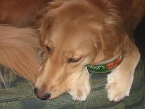 Golden Retriever resting with hummus container.