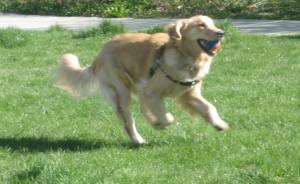 Golden Retriever funning with a ball