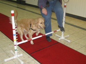 Golden Retriever doing agility jump.