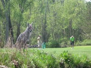 Coyote at Golf Course