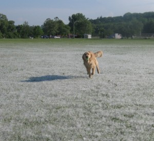 Golden Retriever showing off her recall.
