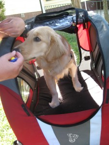 Golden Retriever getting treat in bicycle cart.