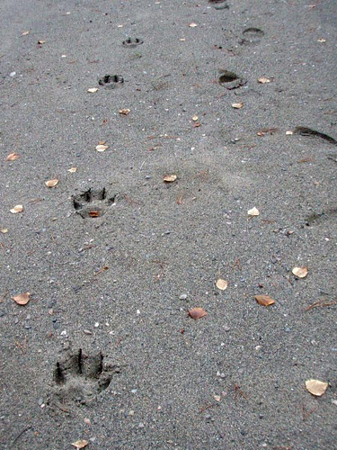 Wolf Tracks - Yukon Territory