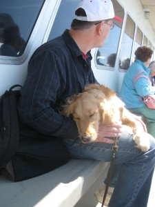 Golden Retriever sleeping.
