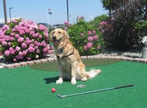 Golden Retriever at Mini Golf Course