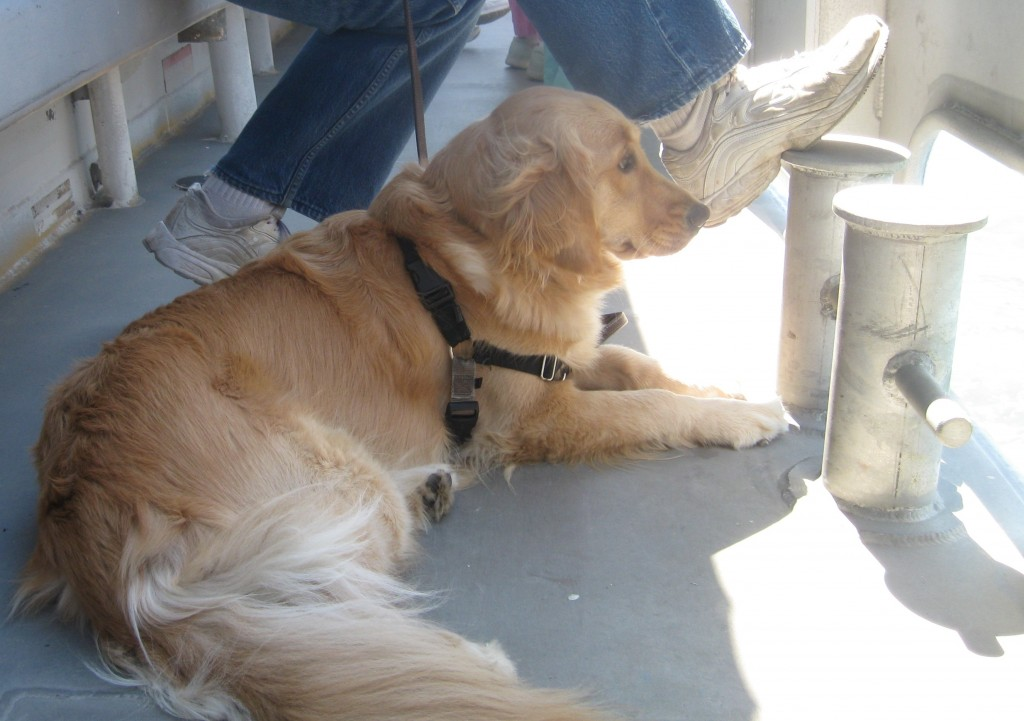 Golden Retriever on the Cape May Whale Watcher