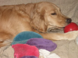 Golden Retriever with bright colored Kong and Toy.