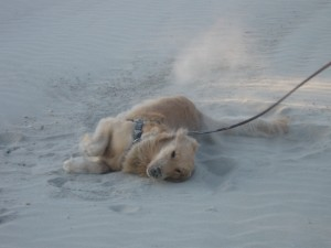 golden retriever rolling in the sand