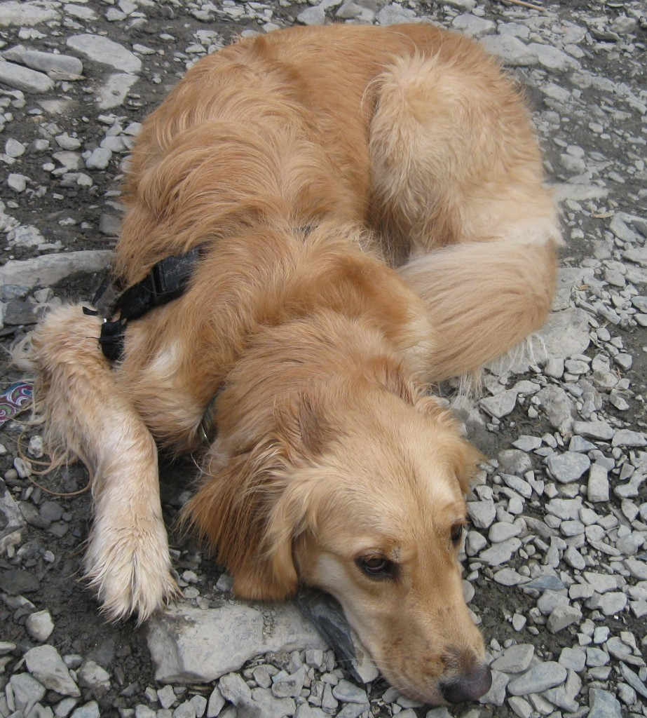 Golden Retriever lying on the rocky beach at Ithaca Falls.