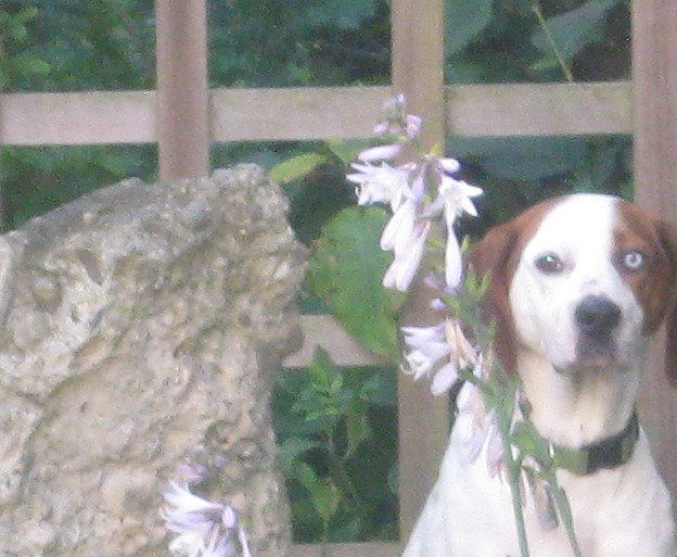 Rescue dog Cherie sits in the hostas