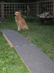 Golden Retriever with dog walk agility equipment