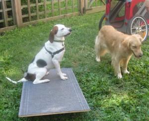 Hound mix standing on ramp near Golden Retriever