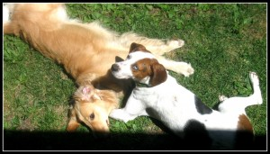 Hound Mix and Golden Retriever Playing