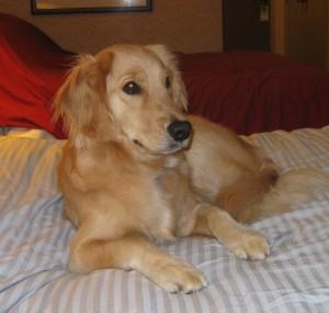 Golden Retriever on bed in Sheraton