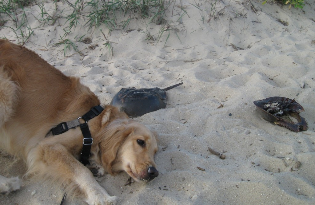 Golden Retriever with horseshoe crab shells