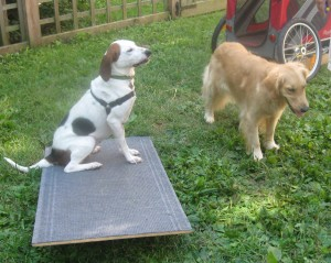Hound Mix and Golden Retriever with agility equipment